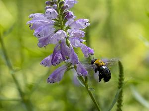 ハナトラノオ(花虎の尾)とクマバチ