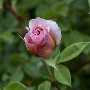 ウイリアム モリス(William Morris) バラ