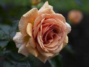 アシュラム(Ashram) バラ