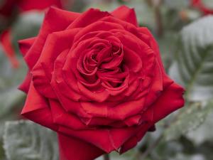 ヘルムット コール ローズ(Helmut Kohl Rose) バラ