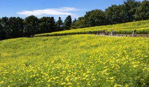 国営昭和記念公園の「レモンブライト」