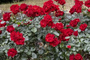 アンダルシアン(Andalusien) バラ