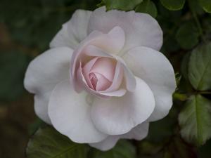 花ぼんぼり(Hanabonbori) バラ
