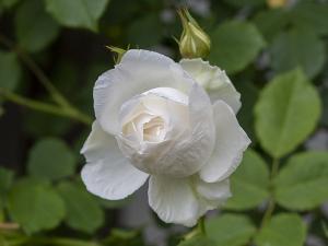 メイセント(May Scent)(五月の香り) バラ