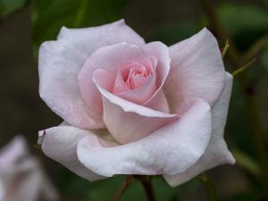 ブライダル ピンク(Bridal Pink) バラ