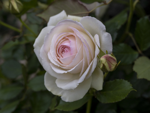 ブラン ピエール ド ロンサール(Blanc Pierre de Ronsard) バラ