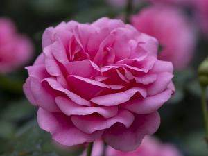 ローザムンデ(Rosamunde) バラ
